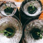 パクチー(コリアンダー)の室内水耕栽培日記と自己流カビ対策No.3