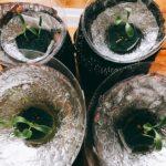 パクチー(コリアンダー)の水耕栽培は室内で!ペットボトルの活用その2
