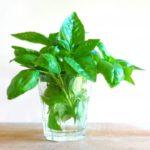 バジル栽培の種まき時期と知らないと損する簡単な発芽方法