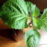 大葉(シソ)を室内で1年中種から育てる方法は?初心者でも簡単な水耕栽培