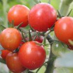 ミニトマトの種から水耕栽培をした記録その2
