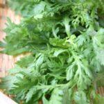 春菊の水耕栽培の種まきと育て方と栽培記録!香り成分や栄養効能もご紹介