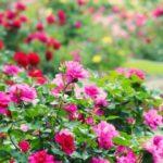 関東(神奈川・千葉・埼玉)のバラ公園7選の春と秋の見頃時期のご紹介