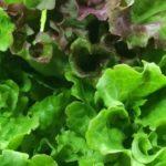 サニーレタスの栽培を1株で2回得する収穫方法