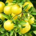 グレープフルーツのアロマオイル(精油)の効果効能とおすすめの使い方をご紹介